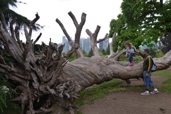 גזע עץ סטנלי פארק
