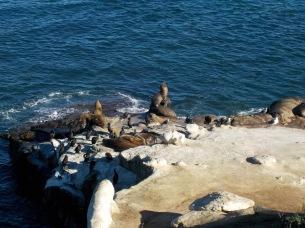 כלב ים בסן דייגו. צילום: עלמה